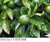 Зеленые мандарины на ветке