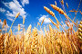 Золотистые колосья на фоне синего неба с облаками, фото № 1831868, снято 27 июня 2010 г. (c) Евгений Захаров / Фотобанк Лори