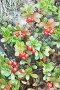 Толокнянка (Arctostaphulos uvaursi), фото № 1957868, снято 2 сентября 2010 г. (c) Александр Романов / Фотобанк Лори