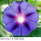 Цветок ипомеи