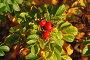 Плоды шиповника (лат. Rоsa), фото № 5158104, снято 18 октября 2011 г. (c) lana1501 / Фотобанк Лори