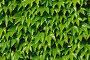 Девичий виноград триостренный  (лат.  Parthenocissus tricuspidata) на кирпичной стене, фото № 5959572, снято 21 января 2014 г. (c) Сергей Трофименко / Фотобанк Лори