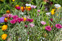 Садовые васильки (лат. Centaurea) в цветнике, фото № 6399608, снято 23 июля 2014 г. (c) Елена Коромыслова / Фотобанк Лори
