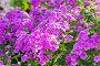 Розовые флоксы, фото № 6554120, снято 24 июля 2014 г. (c) Володина Ольга / Фотобанк Лори