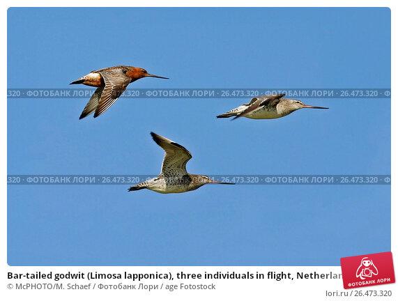 Bar tailed godwit in flight