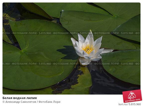 Белая водная лилия, фото № 5815960, снято 20 августа 2013 г. (c) Александр Самолетов / Фотобанк Лори