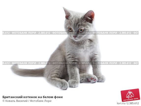 Британская кошка на белом фоне, фото.