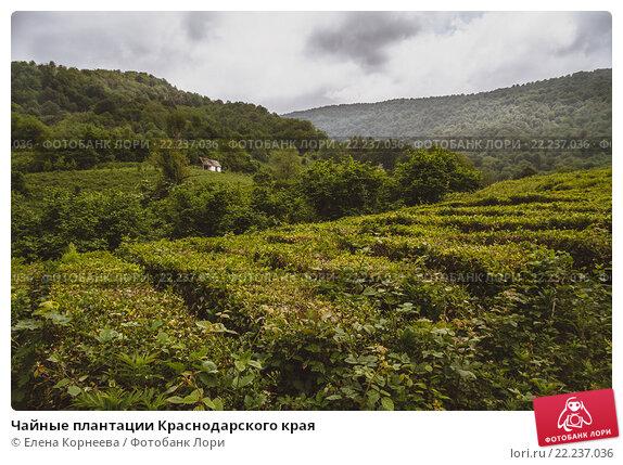 На чайных плантациях головинки выращивают самый северный чай в мире