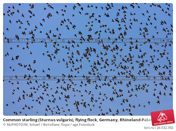 Common starling flying