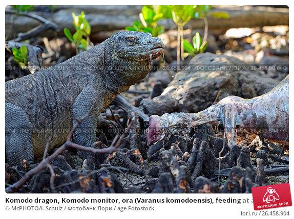 Komodowaran steckbrief