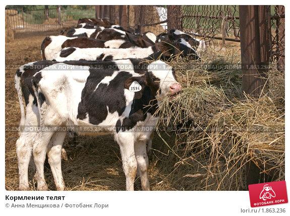 Как кормить теленка с