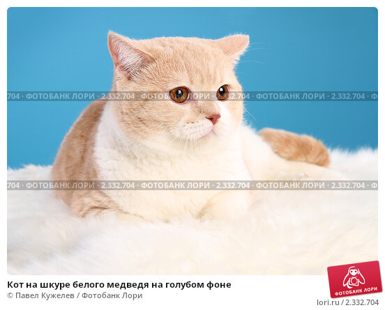Кот на шкуре белого медведя на голубом фоне, фото 2332704.