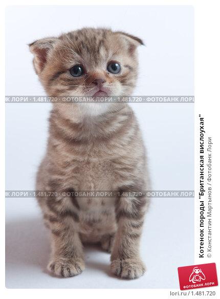 """Котенок породы  """"Британская вислоухая """", фото 1481720."""