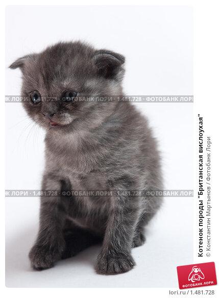"""Котенок породы  """"Британская вислоухая """", фото 1481728."""