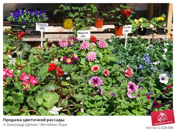 Продажа цветочной рассады, фото 2524096.