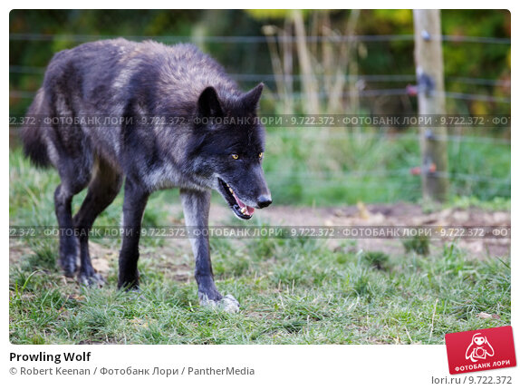 Gray Wolf  Canis lupus  Blue Planet Biomes Gray Wolf