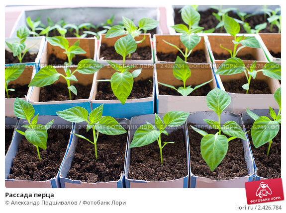 Перец чили выращивание в домашних условиях