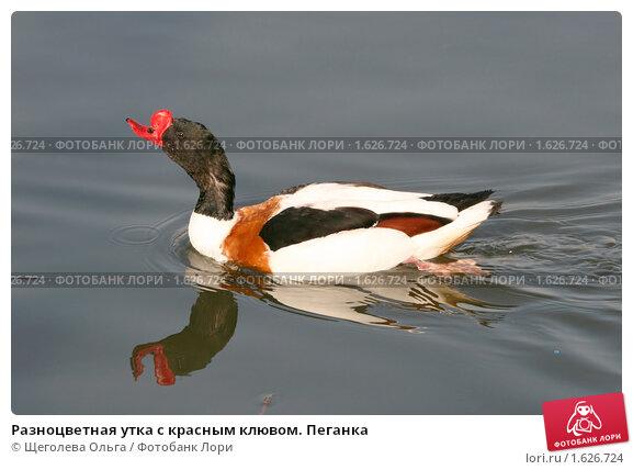 Разноцветная утка с красным клювом. Пеганка, фото № 1626724, снято 10 апреля 2010 г. (c) Щеголева Ольга / Фотобанк Лори