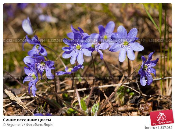 Синие весенние цветы фото