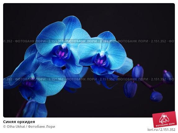 Синяя орхидея; фотограф Olha Ukhal; дата съёмки 16 мая 2010 г.; фото...