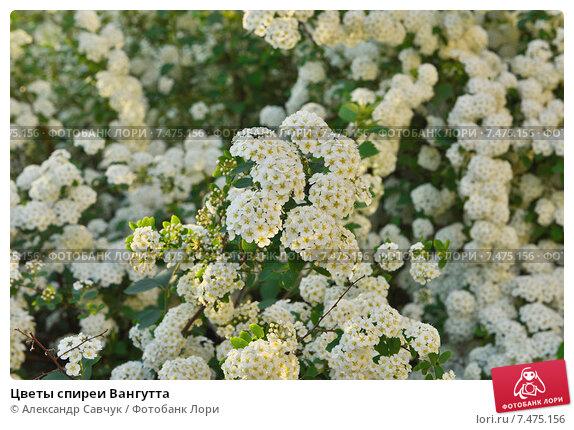 Спирея вангутта без цветов