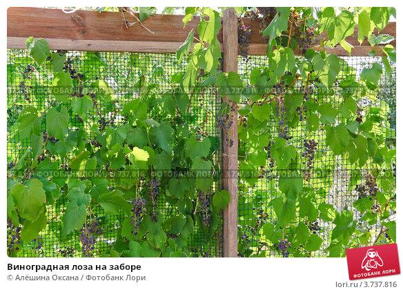 Как лозы винограда сделать виноград