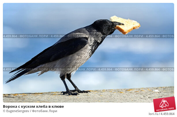 Ворона с куском хлеба в клюве; фото 4459864, фотограф Евгений Сергеев. Фотобанк Лори - Продажа фотографий, иллюстраций и изображ