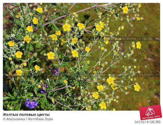 Желтые мелкие цветы полевые