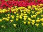 Красные и желтые тюльпаны, фото № 236, снято 10 мая 2004 г. (c) Ирина Терентьева / Фотобанк Лори