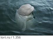 Купить «Увлеченный танцем дельфин», эксклюзивное фото № 1356, снято 15 сентября 2005 г. (c) Ирина Терентьева / Фотобанк Лори