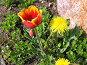Красный тюльпан и одуванчик, фото № 3552, снято 21 мая 2006 г. (c) Маргарита Лир / Фотобанк Лори