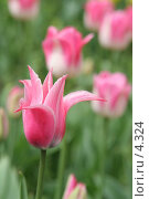 Купить «Изысканный тюльпан», эксклюзивное фото № 4324, снято 29 мая 2006 г. (c) Ирина Терентьева / Фотобанк Лори