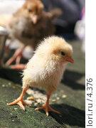 Купить «Смешной цыпленок», эксклюзивное фото № 4376, снято 8 мая 2006 г. (c) Ирина Терентьева / Фотобанк Лори