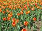 Тюльпаны, фото № 4392, снято 21 мая 2006 г. (c) Агата Терентьева / Фотобанк Лори