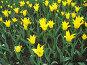 Желтые тюльпаны, фото № 4448, снято 21 мая 2006 г. (c) Агата Терентьева / Фотобанк Лори
