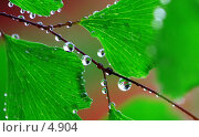 Купить «Венерин волос. Капли. Adiantum. Capillus-vineris», фото № 4904, снято 13 июня 2006 г. (c) Ольга Красавина / Фотобанк Лори
