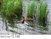 Купить «Утка в зарослях осоки», фото № 5148, снято 20 июня 2006 г. (c) Ольга Красавина / Фотобанк Лори