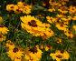 Оранжевые цветы, фото № 5336, снято 1 июля 2006 г. (c) Tamara Kulikova / Фотобанк Лори