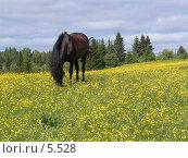 Купить «Лошадь на лугу», фото № 5528, снято 18 июня 2005 г. (c) Николай Гернет / Фотобанк Лори