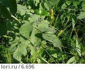 Купить «Роса на листе шиповника», фото № 6696, снято 27 июля 2006 г. (c) Минакова Татьяна / Фотобанк Лори