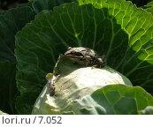 Купить «Лягушка на капусте», фото № 7052, снято 9 июля 2006 г. (c) Минакова Татьяна / Фотобанк Лори