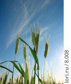 Купить «Зеленые колоски ржи», фото № 8008, снято 7 июля 2006 г. (c) Петрова Ольга / Фотобанк Лори