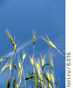 Купить «Зеленые побеги ржи и солнце», фото № 8016, снято 7 июля 2006 г. (c) Петрова Ольга / Фотобанк Лори