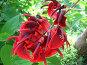 Эритрина петуший гребень (гребенчатая), фото № 8268, снято 14 июля 2006 г. (c) Маргарита Лир / Фотобанк Лори