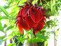 Эритрина петуший гребень (гребенчатая), фото № 8380, снято 14 июля 2006 г. (c) Маргарита Лир / Фотобанк Лори
