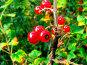 Плоды красной смородины, фото № 8904, снято 19 августа 2017 г. (c) Андрей Жданов / Фотобанк Лори