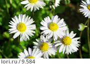 Купить «Ромашки. Несколько цветков на однородном фоне », фото № 9584, снято 18 июня 2006 г. (c) Ольга Красавина / Фотобанк Лори