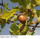 Купить «Желудь на ветке, желтеющая листва», фото № 9772, снято 24 сентября 2006 г. (c) Tamara Kulikova / Фотобанк Лори
