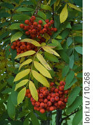 Купить «Две грозди рябины на дереве», фото № 10268, снято 12 сентября 2006 г. (c) Форис Алексей / Фотобанк Лори