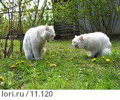 Купить «Два белых кота спорят на зеленой траве», фото № 11120, снято 1 мая 2006 г. (c) Александр Паррус / Фотобанк Лори